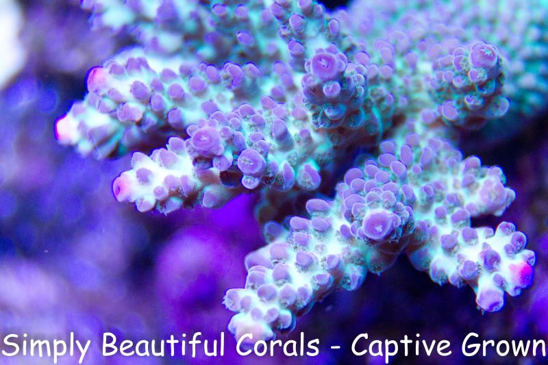 Ora Purple Stylophora