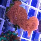 0014 Orange/Red Scrolling Montipora