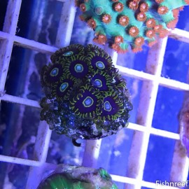 0016 True Blue Hornet Palys 9+ Polyps