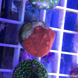 0018 SBC Crimson Planet Chalice