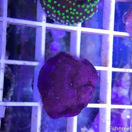 0020 Purple Haze Montipora
