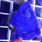 0028 Ultra Blue Sponge