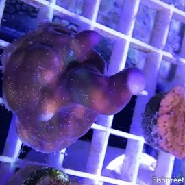 0032 Blue Ridge Coral