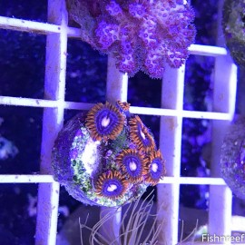 0039 Fire and Ice Zoas 5 Polyps