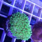 0043 Tyree Florescent Green Sinularia
