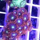 0059 SBC Space Magic Palys 15+ Polyps