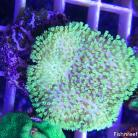 0069 Tyree Florescent Green Sarcophyton