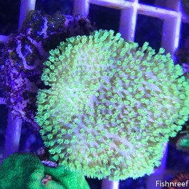 0069 Tyree Florescent Green Sarcophyton