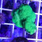 0072 Ultra Green Psamacora