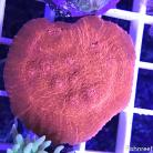 0078 SBC Crimson Planet Chalice Colony