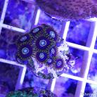 0085 True Blue Hornet Palys 10 Polyps