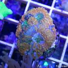 0097 Fire & Ice Acan Lord
