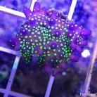 0098 GARF Purple Bonsai