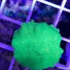 0106 Ultra Green Psamacora