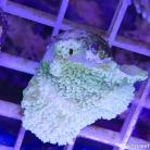 0119 Highlighter Green Montipora