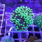 0123 Ultra Green Grape Frogspawn
