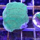 0133 Highlighter Green Montipora