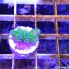 01`34 Rainbow Stylophora