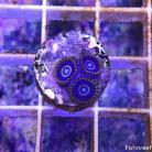 0145 True Blue Hornet Palys 3 Polyps