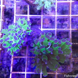 0148 Purple Tip Green Frogspawn