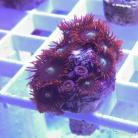 0175 SBC Space Magic Palys 10+ Polyps