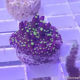 0189 GARF Purple Bonsai