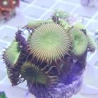 0192 Green Button 10+ Polyps