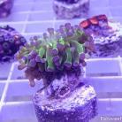 0211 Purple Tip Green Frogspawn