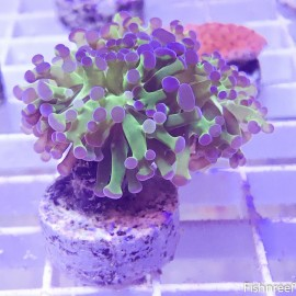 0212 Purple Tip Green Frogspawn