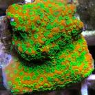 Tyree Sunset Montipora