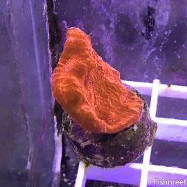 0001 SBC Crimson Planet Chalice