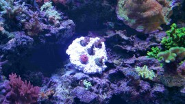 5 Frag Rock by Natural Reef Habitats