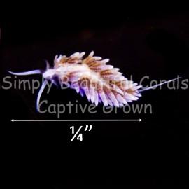 Berghia  Pack - Nudibranch Small 1/4