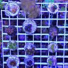 Deal of the Day - Best Zoa Pack Ever!