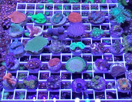 WYSIWYG Another Deal of the Day!  30 Corals for $350 Shipped Free!