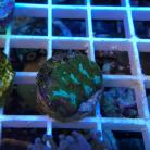 Green Micromussa