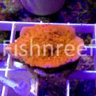 Tyree Bloody Mary Montipora cebuensis