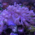 Blue Cespitularia