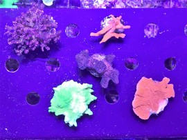 Deal of the Day!  5 Large SPS Frags for $75