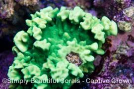 Ultra Green Psammocora
