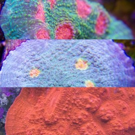 High-End Chalice Frag Pack 3 Corals