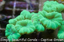 Toxic Green Trumpet Coral