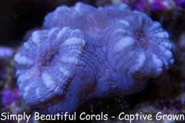 Styrated Purple Trumpet Coral