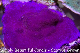 Purple Haze Montipora