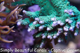Teal with Blue Tip Acropora
