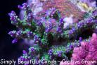 GARF Purple Bonsai