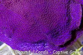 Purple Nurple Montipora