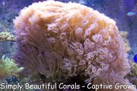 Waving Hand Coral