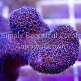 SBC Rainbow Stylophora