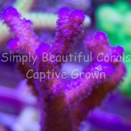 SBC You Call Me Purple Stylophora